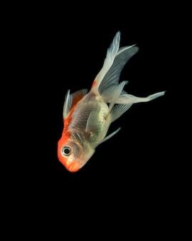 """""""pół księżyca"""" rybka betta płynie w dół"""