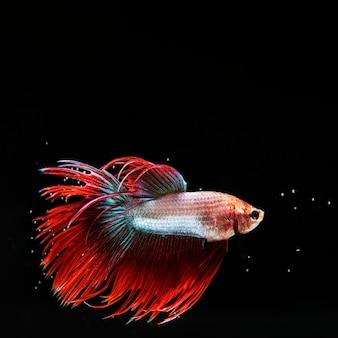 """""""pół księżyca"""" rybka betta z piękną czerwoną sukienką"""