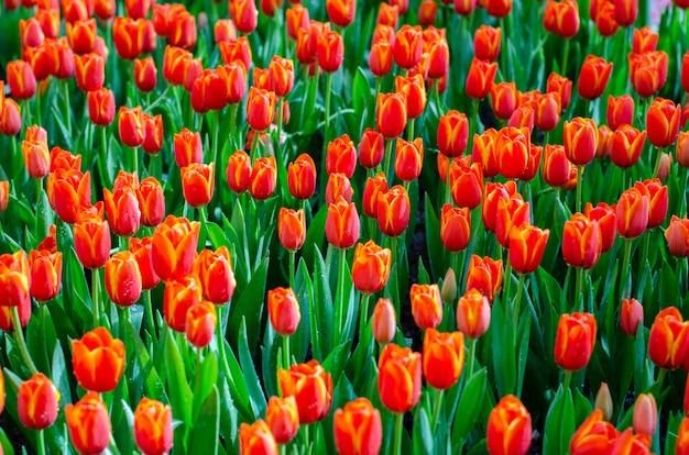 Pola czerwonego żółtego tulipana są gęsto kwitnące