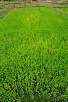 Pola i sadzonki ryżu
