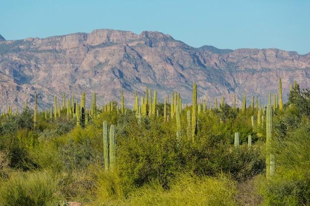 Pola kaktusów w meksyku, baja california