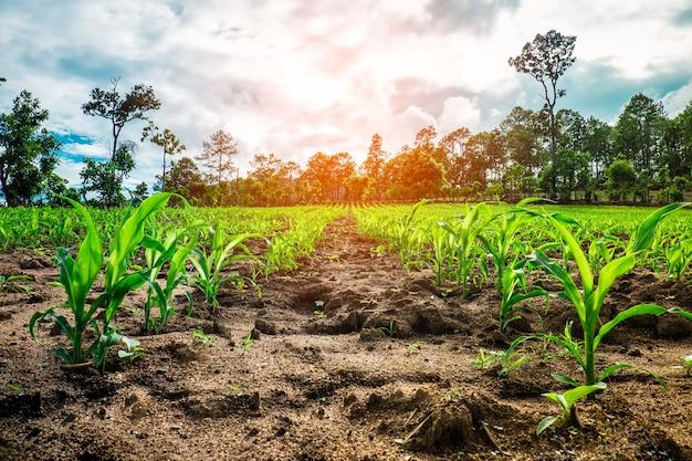 Pola kukurydzy - motywy fotografii rolniczej. małe rośliny kukurydzy.
