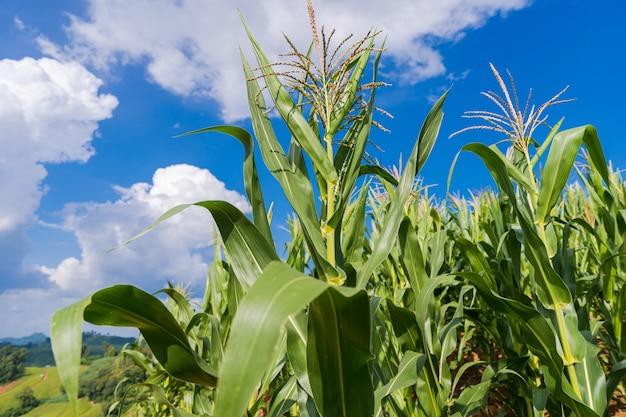 Pola kukurydzy pod błękitne niebo