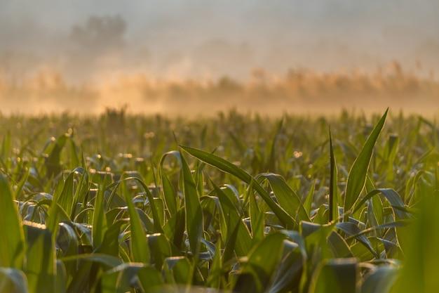 Pola kukurydzy podczas porannego wschodu słońca w tajlandii prowincji mae hong son.