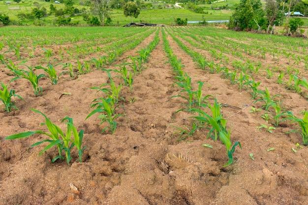 Pola kukurydzy - temat motywu rolnictwa. małe rośliny kukurydzy.
