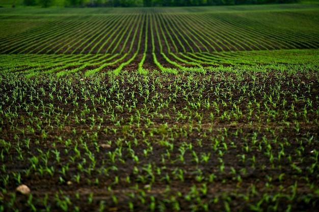 Pola kukurydzy