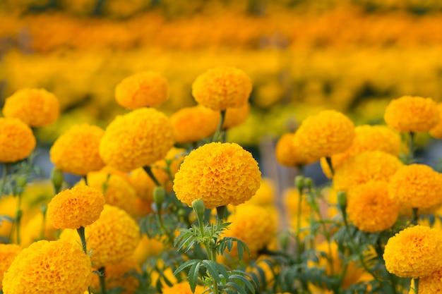 Pola kwiatów nagietka pomarańczowego