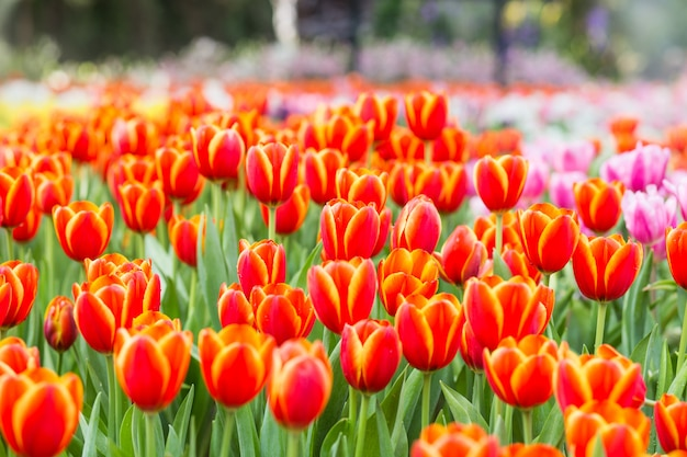 Pola kwiatów tulipanów