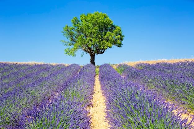 Pola lawendy z drzewem, francuska prowansja