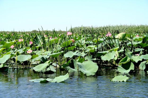 Pola lotosów na równinie zalewowej wołgi w regionie astrachań w rosji