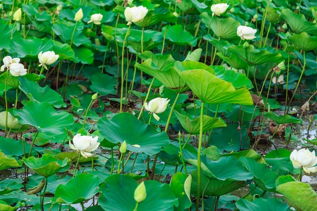 Pola lotosu nad rzeką