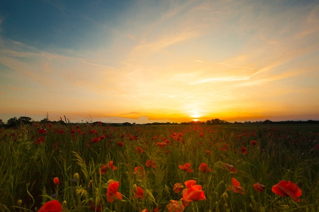 Pola makowe i krajobraz zachodu słońca. piękna letnia panorama przyrody z dzikimi kwiatami