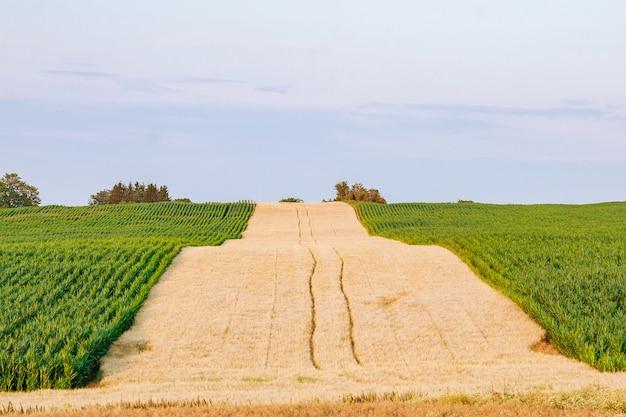 Pola pszenicy i kukurydzy w czechach. krajobraz rolniczy.