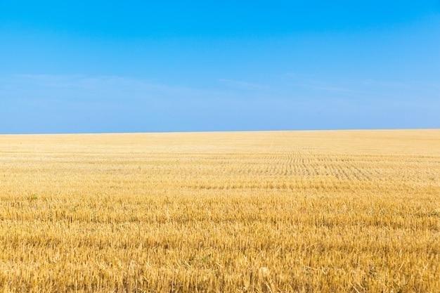 Pola pszenicy w słoneczny letni dzień