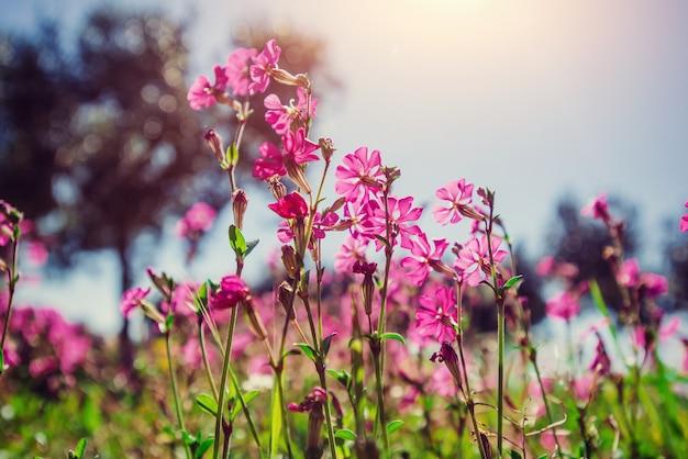 Pola różowi kwiaty w słońcu. naturalny zamazany tło. więc