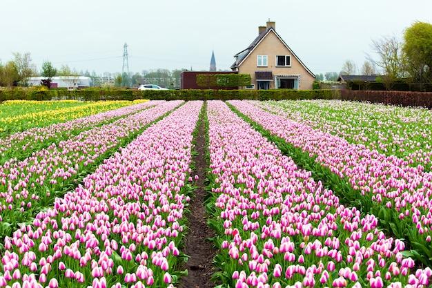 Pola różowych tulipanów w okolicy keukenhof niedaleko amsterdamu w holandii