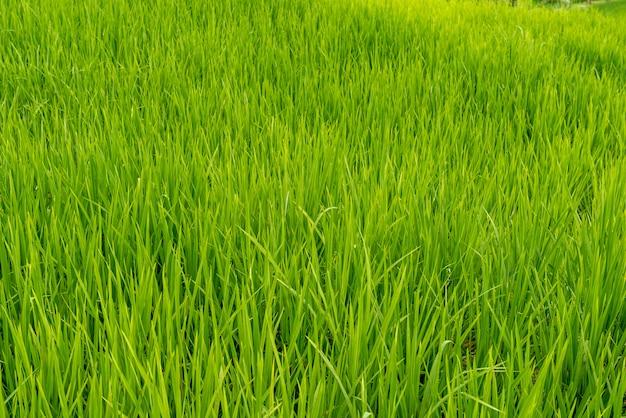 Pola ryżowe bali w pochmurny, pochmurny dzień z niewielkim deszczem