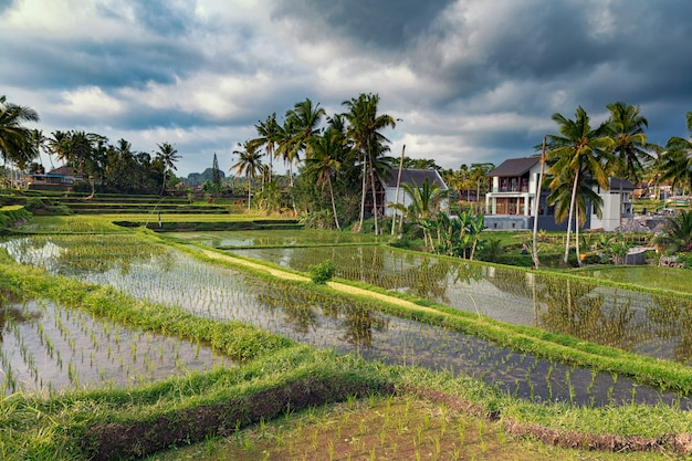 Pola ryżowe i tarasy piękny widok w ubud, bali