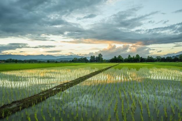 Pola ryżowe na wsi, gdy słońce ma zachodzić.