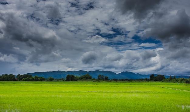 Pola ryżowe pod zachmurzonym niebem