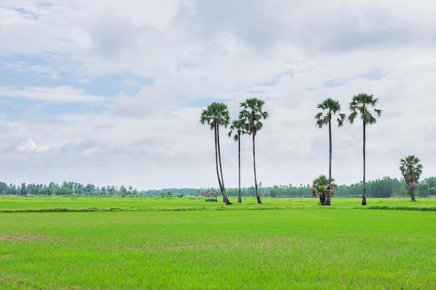 Pola ryżowe pokryte chmurami deszczowymi