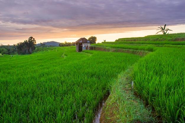 Pola ryżowe w kolorze zielonym w momencie zachodu słońca