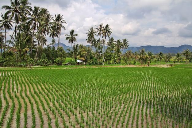 Pola ryżowe w małej wiosce indonezji