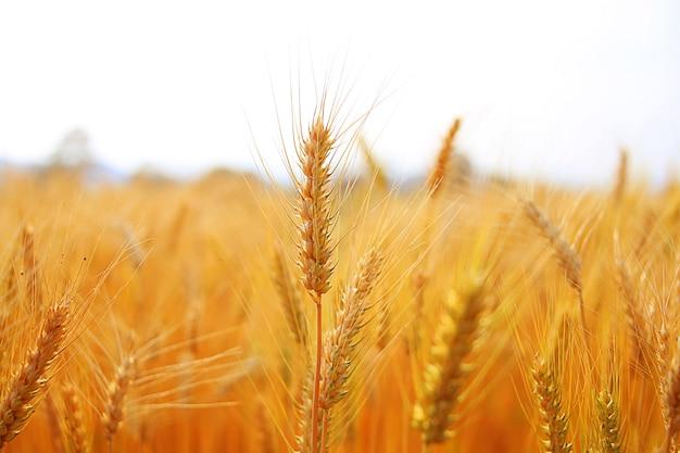 Pola ryżowe w pięknych polach ryżowych.