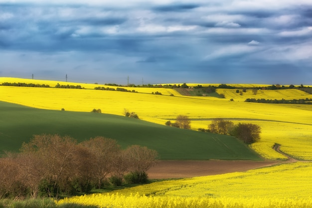 Pola rzepaku oleistego na słoneczny dzień przeciw błękitne niebo