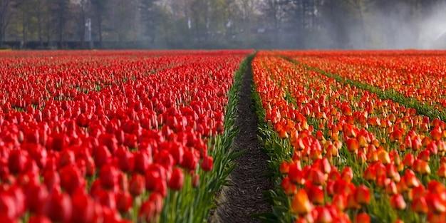 Pola tulipanów tulipany pomarańczowe tło pola