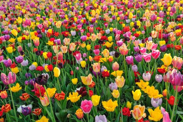 Pola tulipanów w holandii
