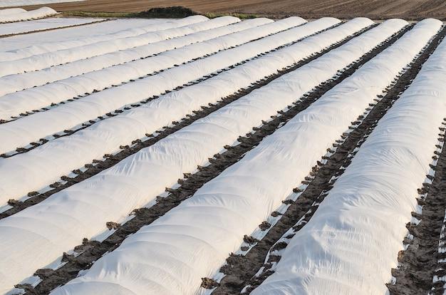 Pola uprawne pokryte rzędami pokrytej błoną spunbond z ziemniakami posadzonymi wczesną wiosną