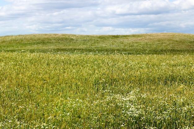 Pola uprawne ze zbożami i dużą liczbą chwastów i kwiatów chwastów