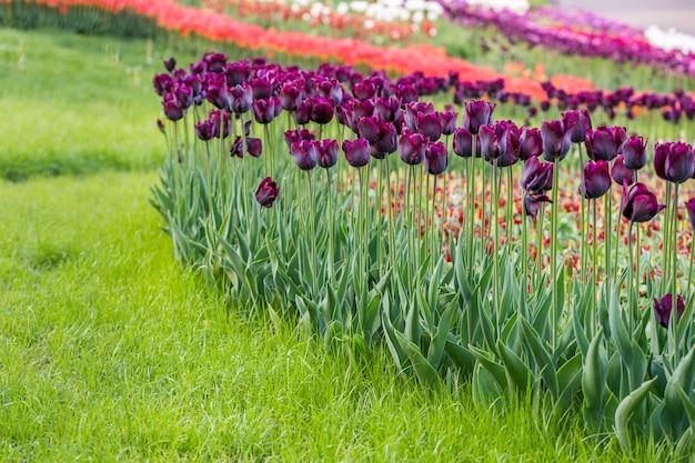 Pola, w których kwitną fioletowe tulipany. pole z kwiatami w ogródzie