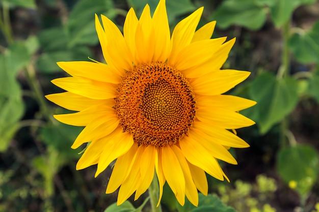 Pola z nieskończonym słonecznikiem. piękny słonecznik