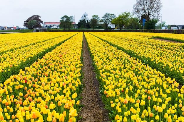 Pola żółtych tulipanów w okolicy keukenhof niedaleko amsterdamu w holandii