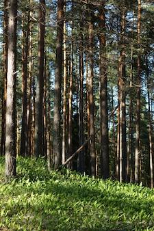 Polana konwalii na wzgórzu w sosnowym lesie, promienie słońca przechodzą przez drzewa, lato