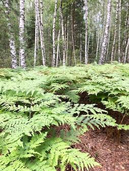 Polana paproci w lesie mieszanym