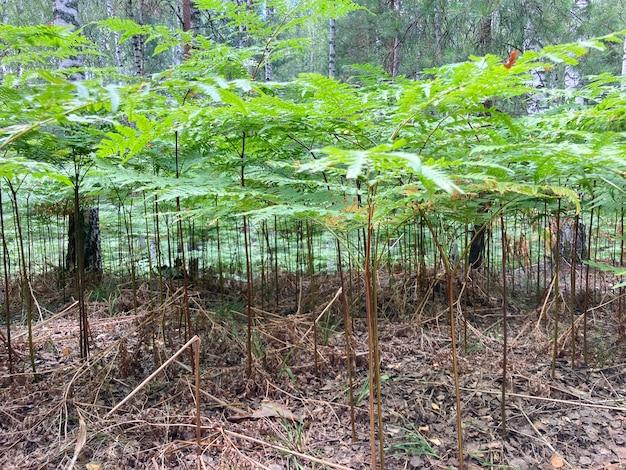 Polana paproci w pionie lasu mieszanego