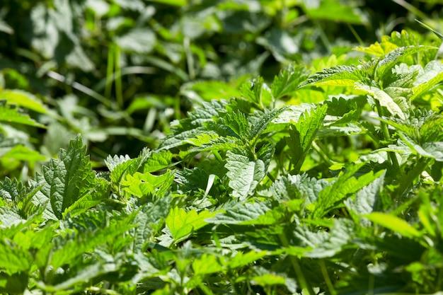 Polana w pełni porośnięta zielonymi pokrzywami, uszkadza i pali skórę