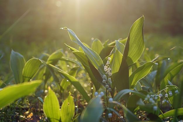 Polana zielonych liści i białych kwiatów konwalii w porannym słońcu.
