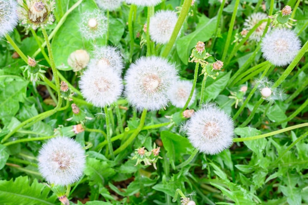 Polanie świeżej łąki mniszek lekarski w słoneczny wiosenny dzień. kwitnące mlecze. doskonałe tło dla wyrażenia wiosennego nastroju. roślina mniszka lekarskiego z puszystym pąkiem.