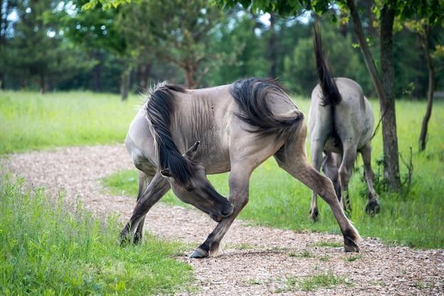 Półdzikie konie polskie jedzące trawę na łące w pobliżu lasu.