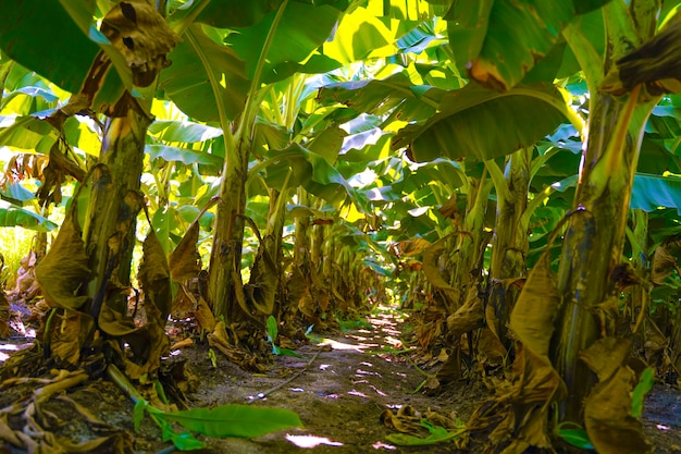 Pole bananów w indiach