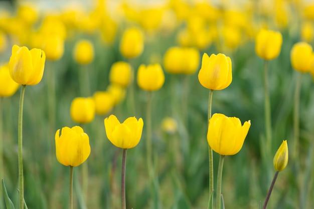Pole bardzo pięknych kwiatów tulipanów w różnych kolorach