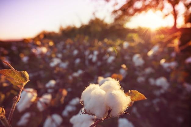 Pole bawełny o wschodzie słońca. sezon jesienny.