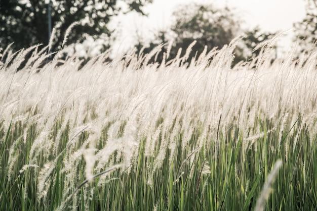 Pole białych traw