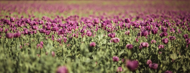 Pole bzu mak kwiaty w słońcu na początku lata