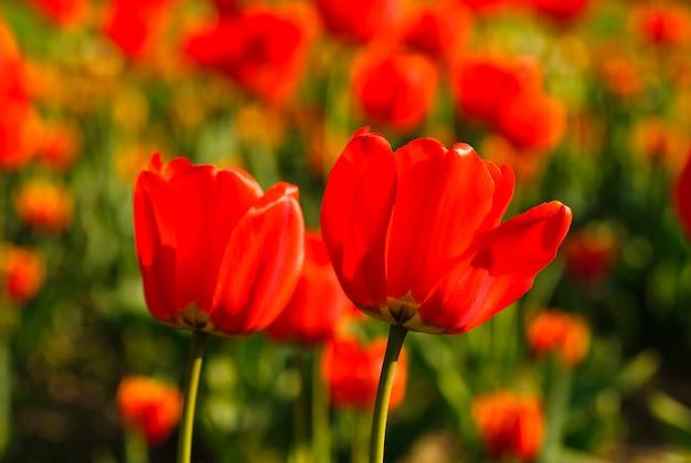Pole czerwonych tulipanów, płytkie dof. tło wiosna