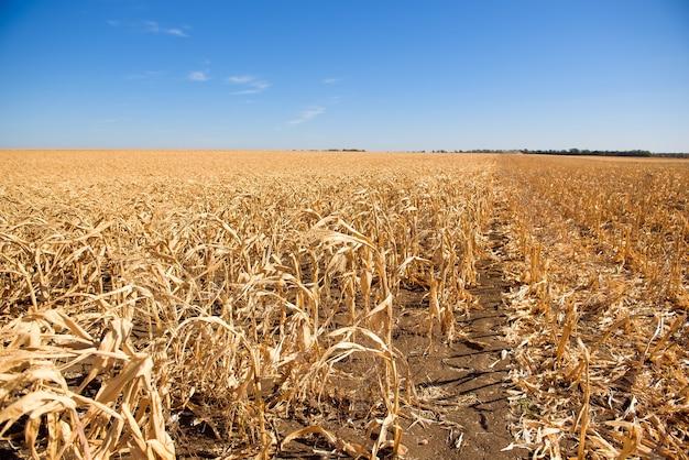 Pole dojrzałej kukurydzy gotowe do zbioru jesienią.